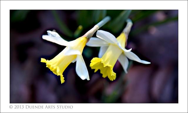 Narcissi 5168