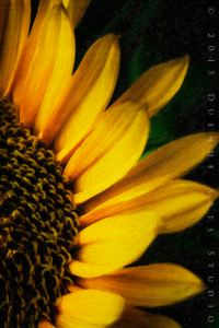Sunflower 8543arts